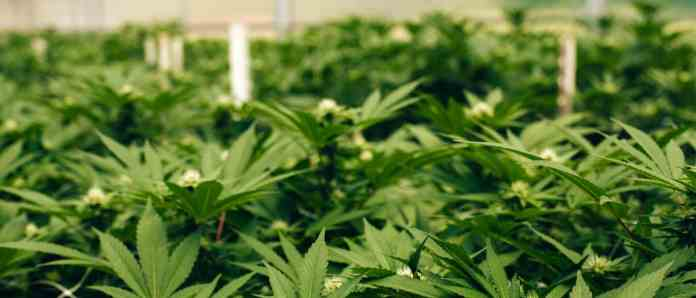 cannabis / marijuana supply / greenhouses - mj