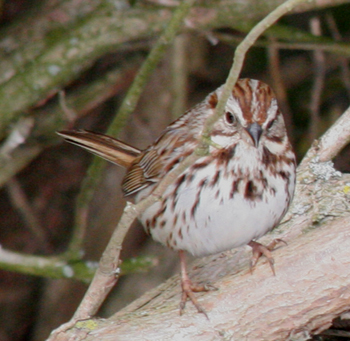 Song sparrow diets consist of seeds, fruits, and insects.