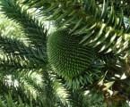 """""""Iniciativa Araucária"""" pretende estimular plantios dessa espécie florestal nativa"""