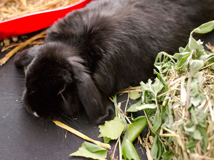 Dwarf rabbit Nibbler