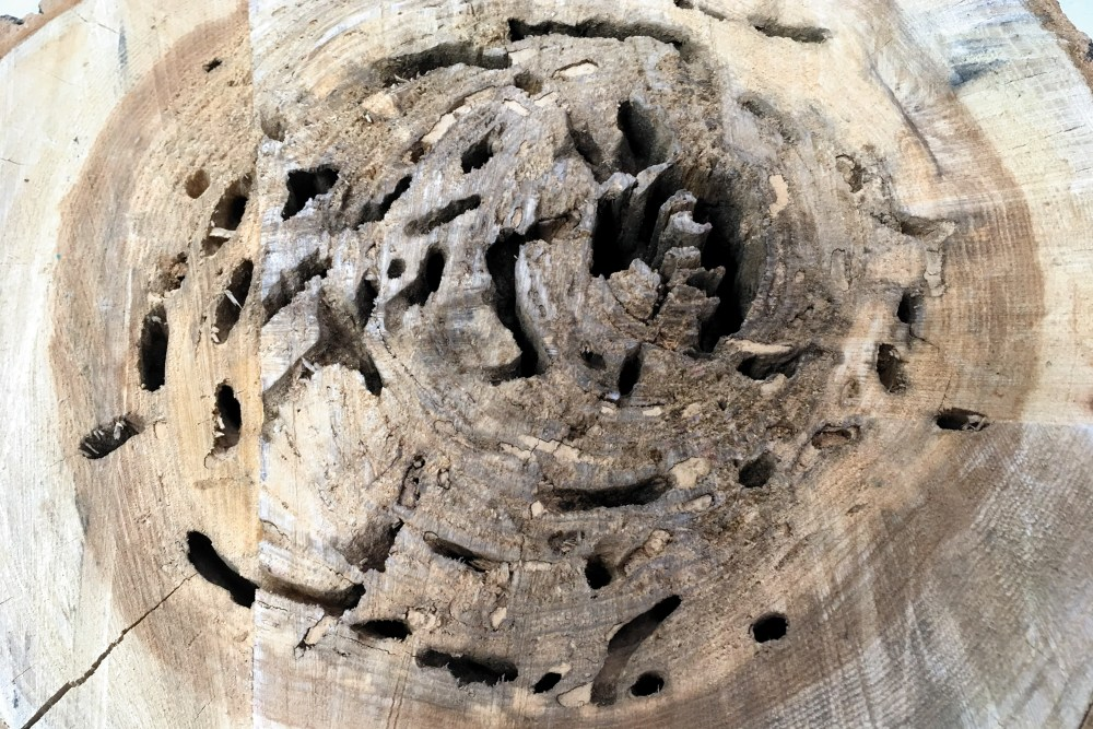 Black Carpenter Ant Nest,Tree Trunk, JAK600 (2)