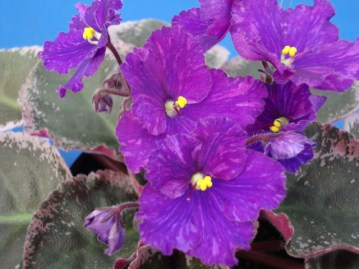African violet 'Lyon's Black Magic'