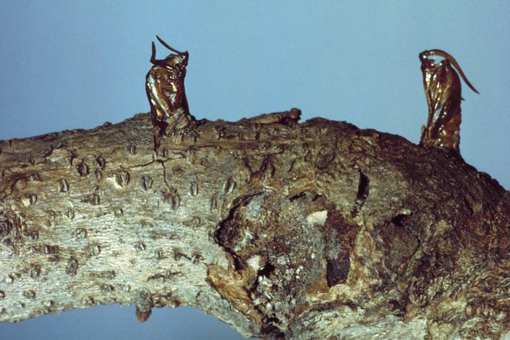clearwig borer pupal skins ENT122 (2).jpg