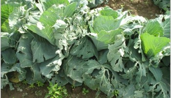 Hail damaged cabbage (University of Delaware Extension)