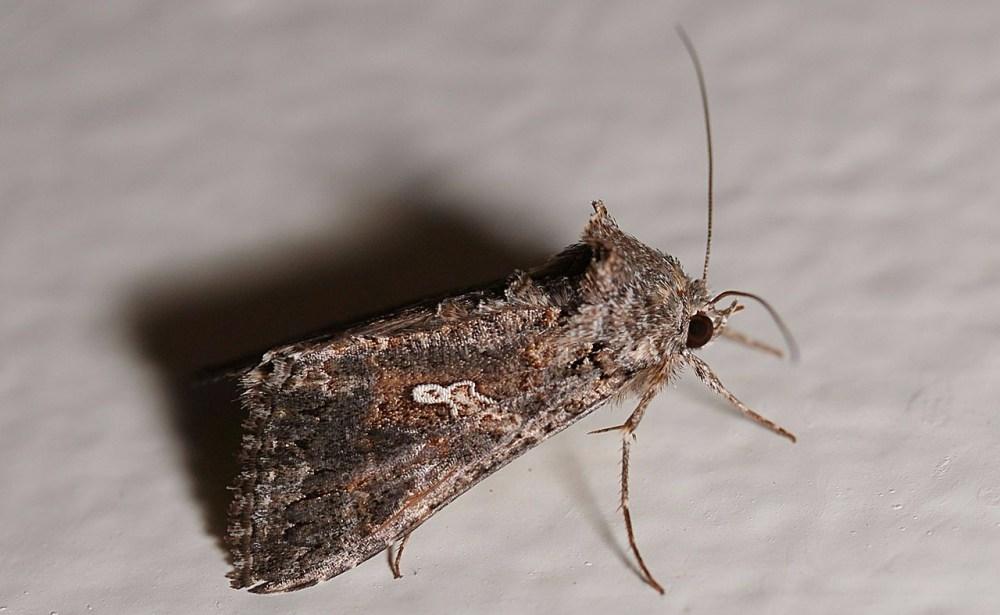 1280px-Noctuidae_moth.jpg