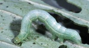 Trichoplusia_ni_larva