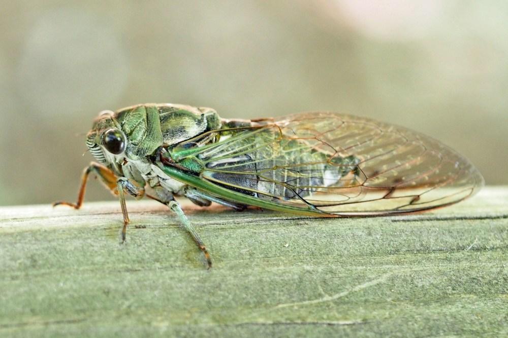 Dog Day Cicada, IMO700 (2).jpg