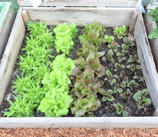 Different types of leaf lettuce in a cold frame