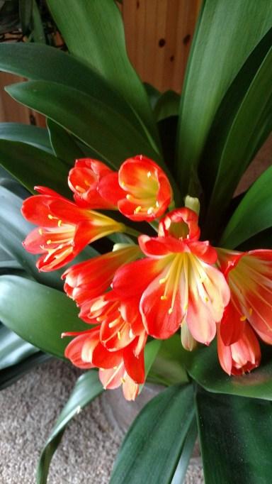 Kaffir Lily (2).jpg