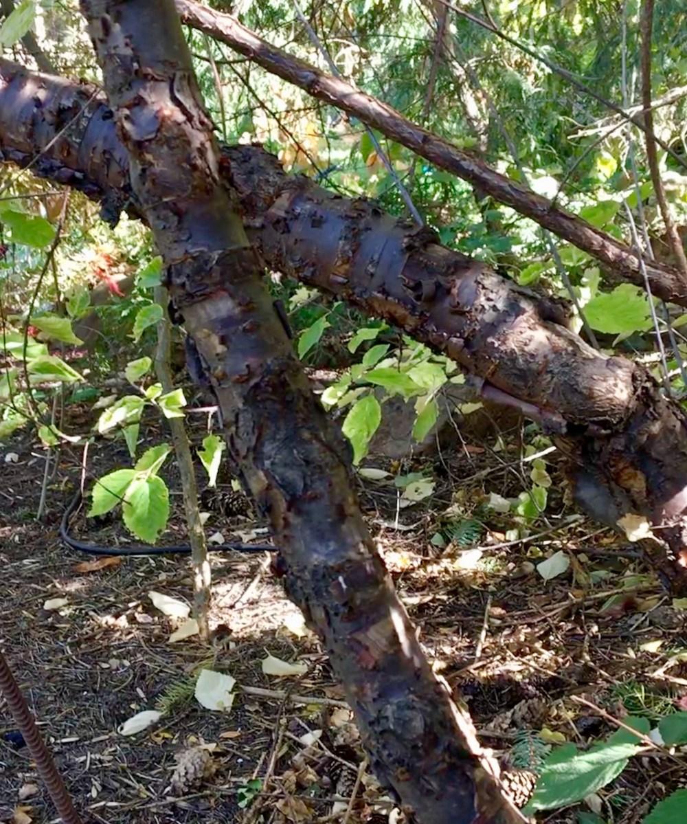 Nanking Cherry exfoliating bark CJ Hohman
