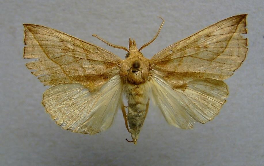 vamp moth 2