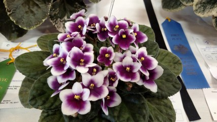 African violet 'King of Clubs;