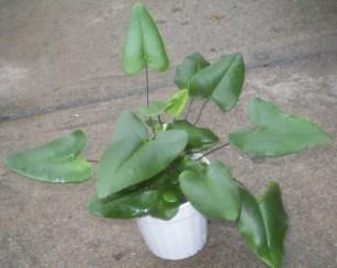 hemionitis arifolia