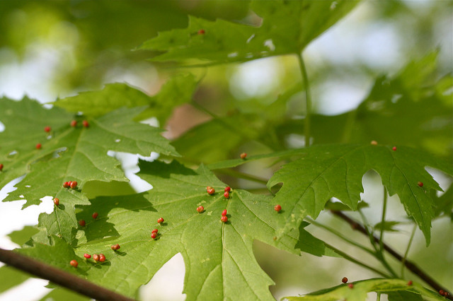 maple bladder galls 2