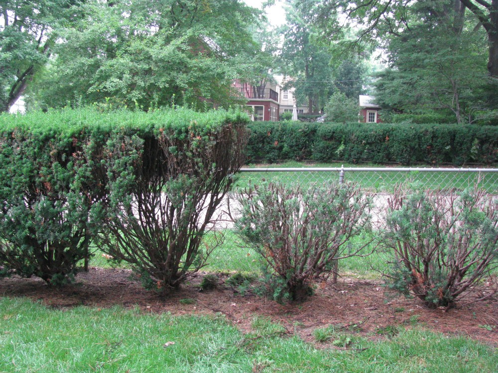 Pruning Yews Shearing Or Thinning Gro Big Red