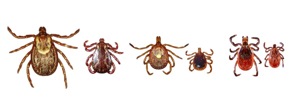 3 species of ticks