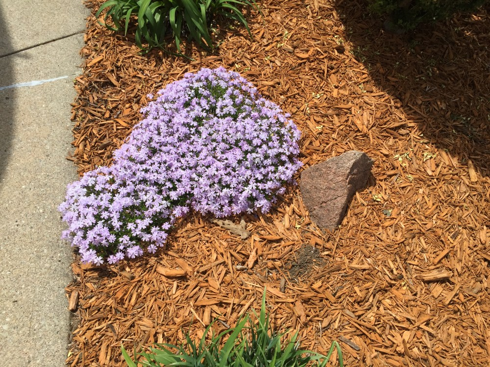 creeping phlox color spring