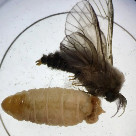 Males are brown furry moths that lack scales on the wings. Females pupate into this wingless organism. (Photo: J. Green)