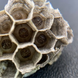 Paper wasps nest consist of a single tier with multiple open cells. In each cell a wasp larva will develop.