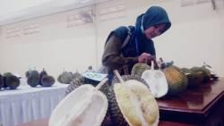 Lomba Varietas Durian, Komoditas Durian Jepara Jadi Primadona