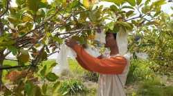 Keseruan Belajar Berkebun dan Menikmasti Sensasi Petik Buah di Agrowisata Jambu Kristal di Tempuran Blora