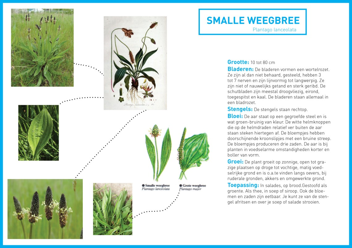 smalle weegbree - groene avonturen tekst
