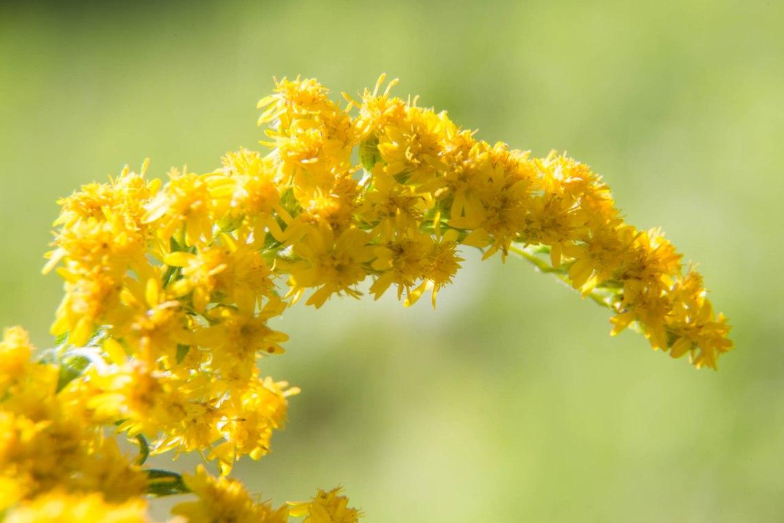 wildplukken-canadese-gulden-roede-groene-avonturen-5
