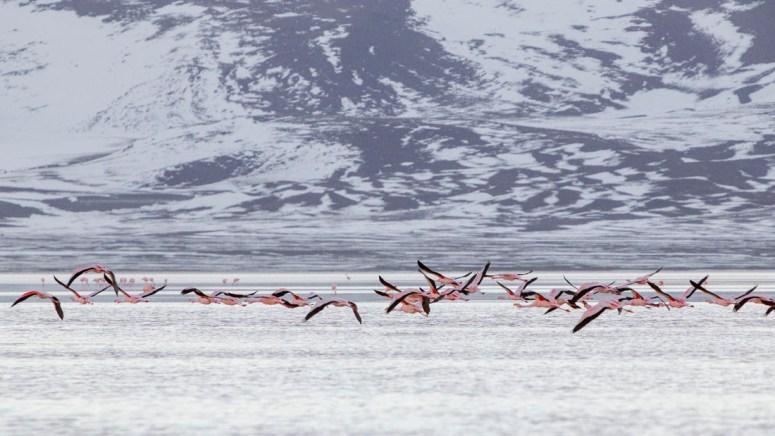 Flamingo's vliegen weg boven het wateroppervlak van Laguna Colorada in Bolivia.