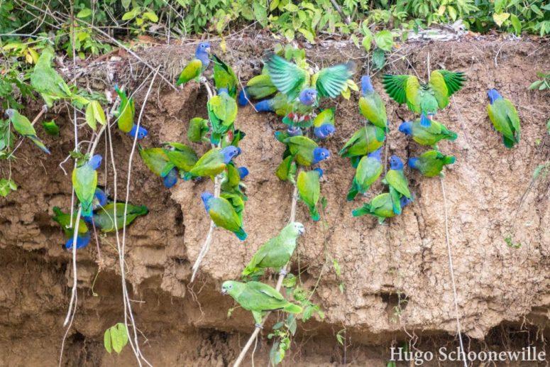 Parrot clay lick