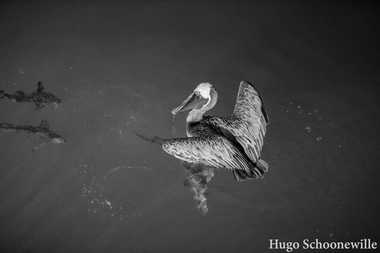 Zwartwitfoto van een pelikaan die het water in duikt om vissen te vangen.