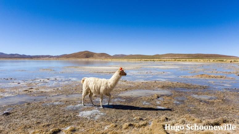 Route Bolivia in 3 weken: alpaca op een meer in Bolivia tijdens de jeeptour over de zoutvlakte Salar de Uyuni.