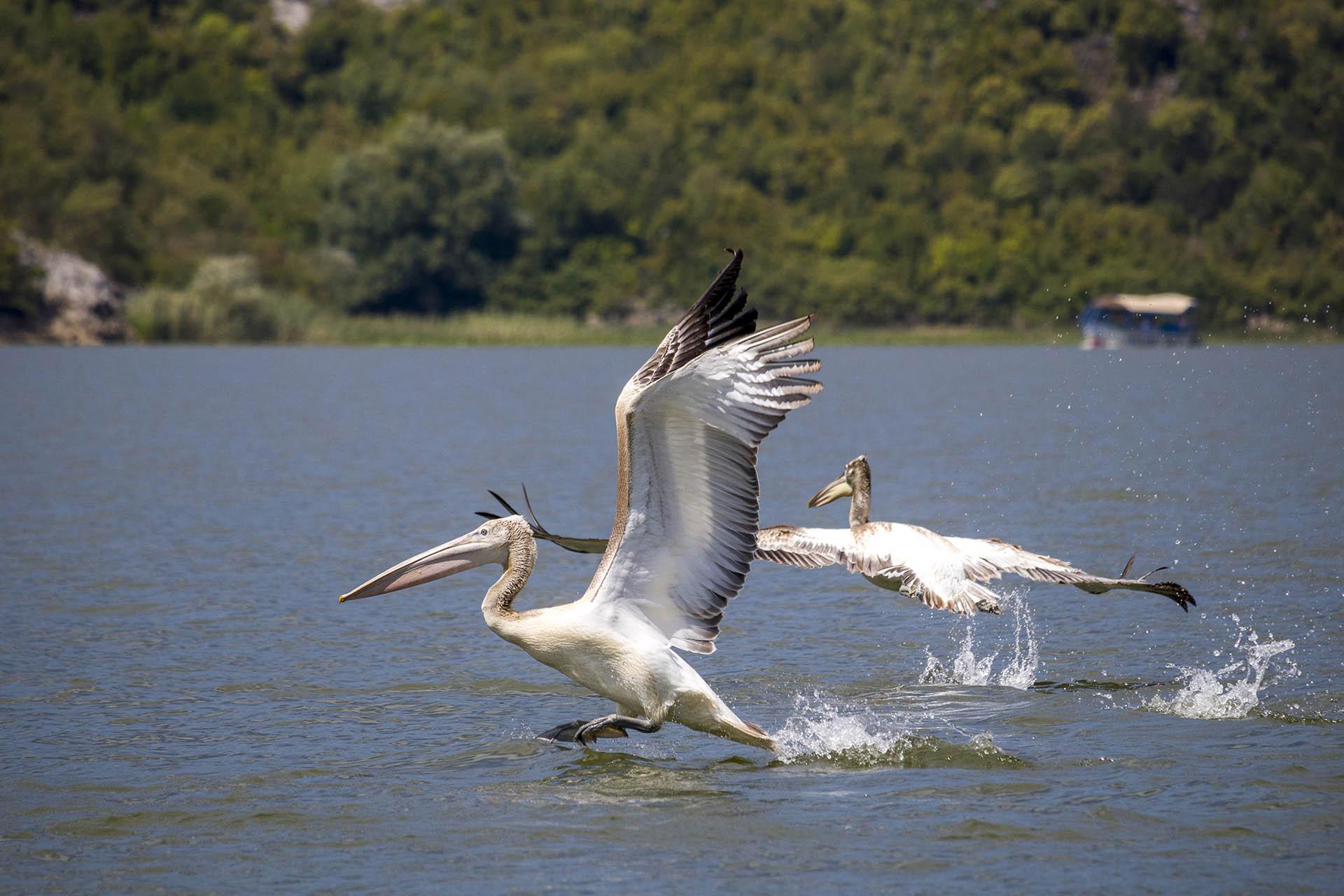 Dalmatische pelikaan landt op het water van het Skadarmeer in Montenegro. Dalmatian pelican