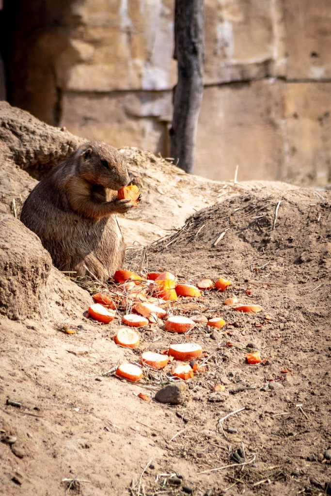 Een marmot in Wildlands Adventure Zoo die appel aan het eten is.