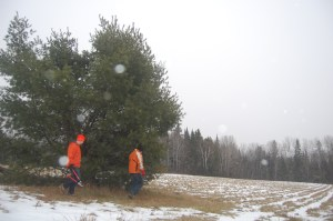 Collecting pine bows in our field.