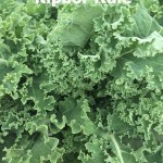 Variety: Kale Name: Ripbor Color: Green to Grayish Green Size: Medium Compact Curly Leaves Taste: Nutritious, Full of Protein & Vitamins A & C, Slightly Bitter in the Summer Turning Sweeter in the Fall