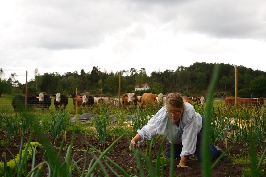 Signe rensar ogräs med korna som sällskap.