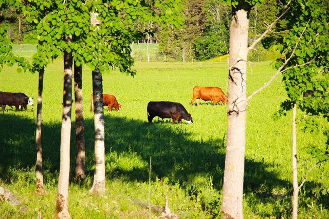 Gröna Hagars kor skapar öppna landskap