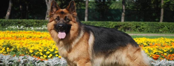 Long Haired German Shepherd Haircut The Best Haircut Of 2018