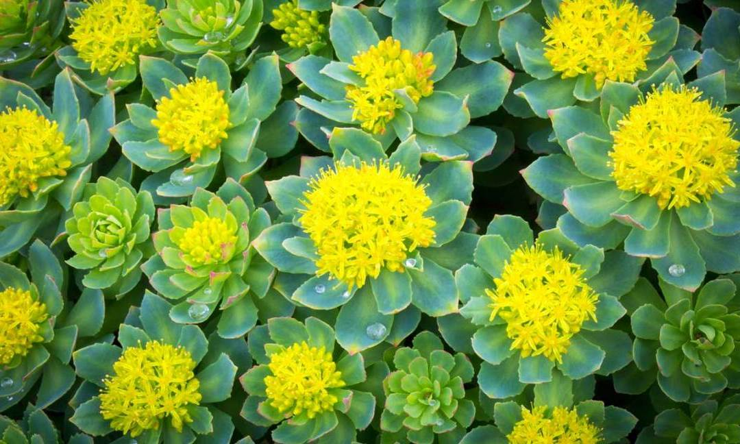 Rhodiola Rosea – The Adaptogen That Reduces Fatigue