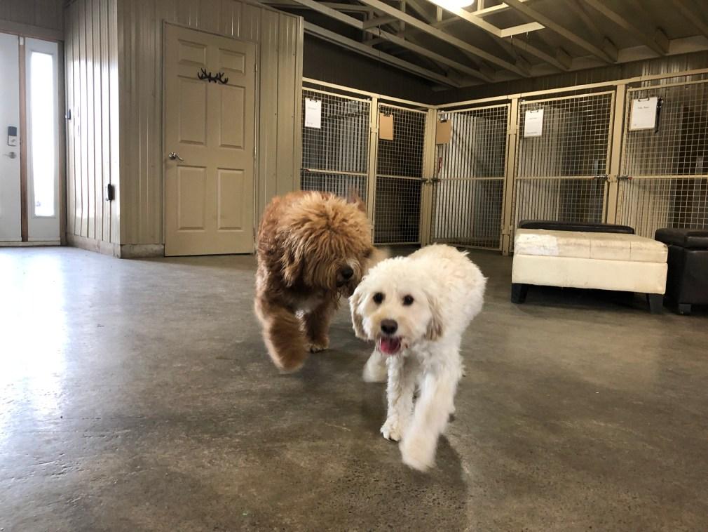 2 dogs walking toward camera inside dog daycare playroom.