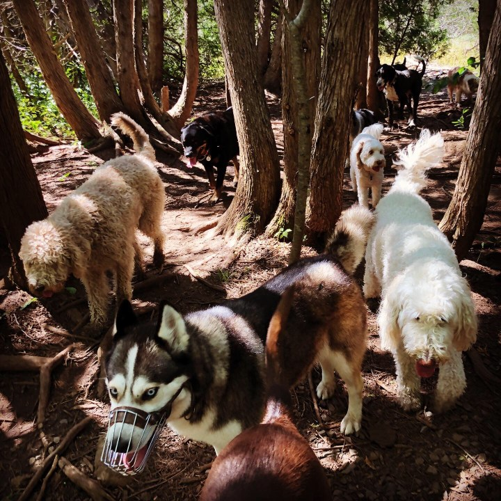 7 dogs walking peacefully in a forest.  The dog at the front of the pack is wearing a dog muzzle.