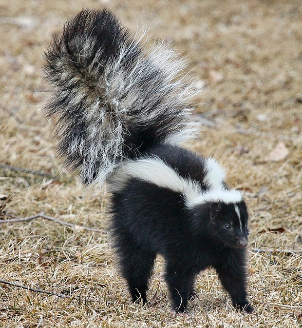 Image of a skunk.