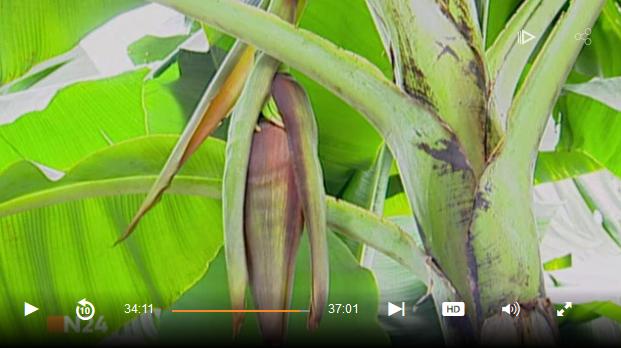 banane_staude.PNG