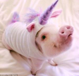 unicorn pig evidence