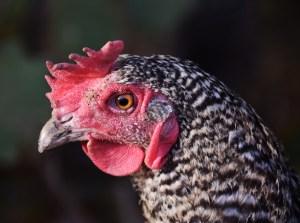 chicken gender