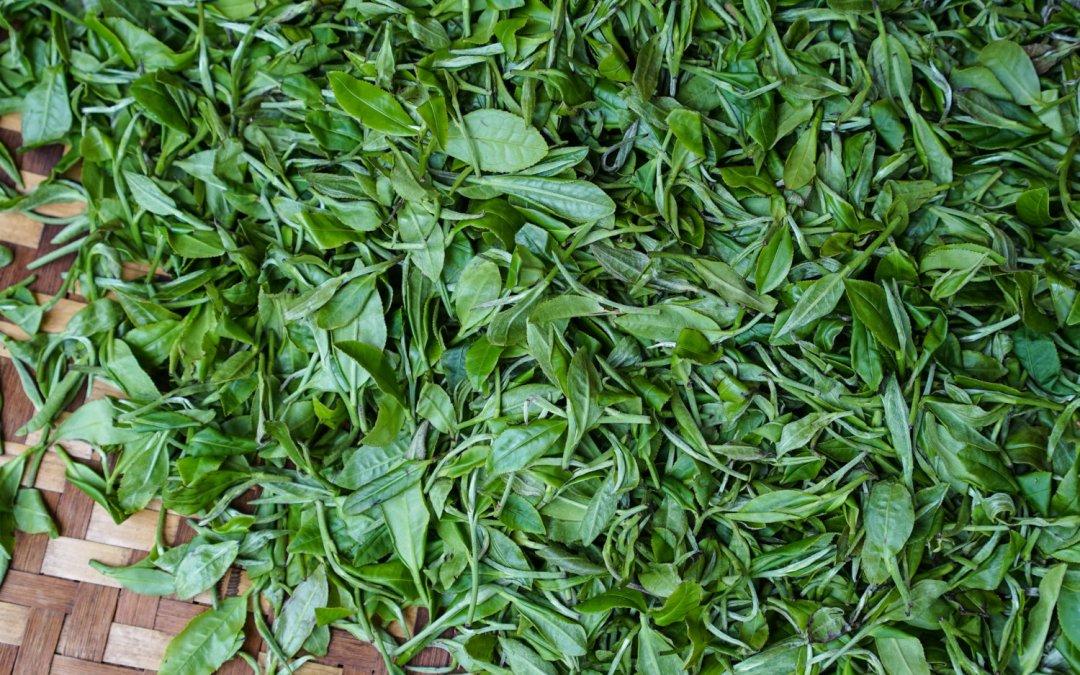 drying tea leaves