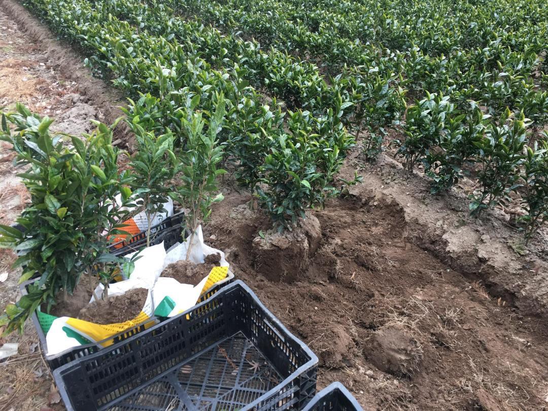 transplanting Haruto cultivar tea 1