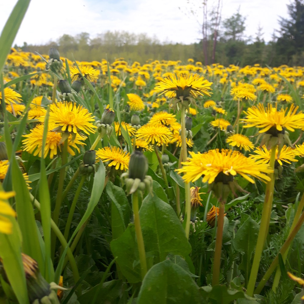 A large patch of dandelions in bloom.