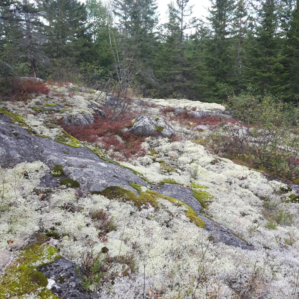 Reindeer Lichen, Moss and Blueberry plants with their red fall leaves growing on a rocky hill on the farm.