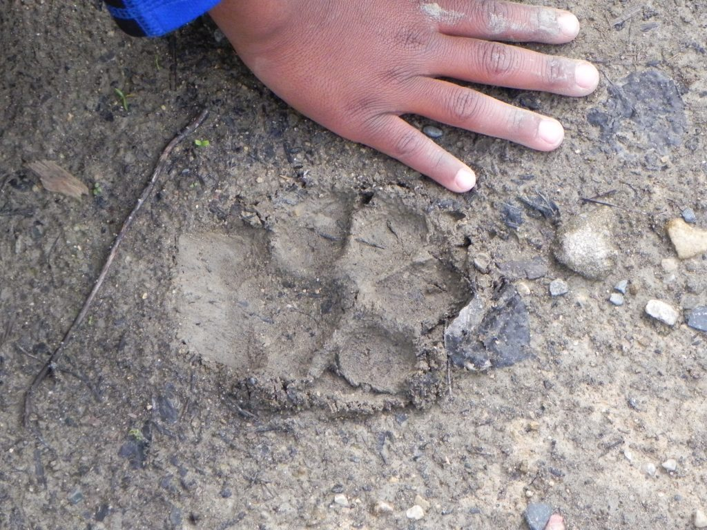 Zeke discovered some paw prints in the sand on the banks of the Groundhog River. Comparing the size of his hand to the paw print.